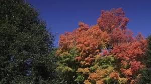 tree starting to change color on breezy autumn day stock
