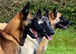 belgian sheepdog breeders uk goldmali
