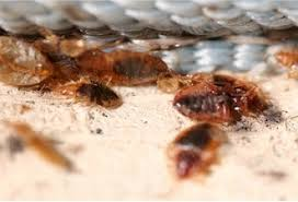 boric acid for bed bugs how to kill and get rid of bed bugs effectively at home