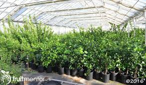 How To Wrap A Tree In Lights Growing Citrus From Cuttings U2013 Rooting And Grafting Citrus In One Step