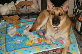 belgian shepherd south africa taber animal clinic 6212 54 ave taber reviews and appointments