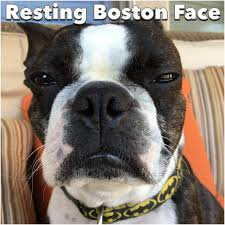 Boston Terrier Meme - crazy funny dog memes boston terrier daily funny memes