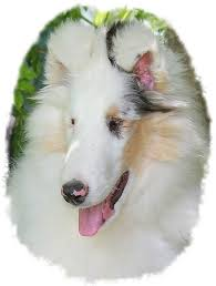 australian shepherd double merle double merle breeders don u0027t want you to see this