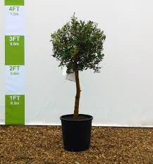growing olive trees in containers olive grove oundle