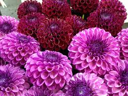 dahlias flowers flowers pink nature dahlias dahlia flowers flower wallpaper