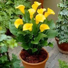 calla bulbs calla white yellow flower bulbs at rs 50 dadar west