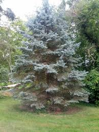 blue spruce trees what s wrong with the blue spruce trees in my neighborhood arbor