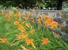 day lilies daylilies by teresa leo e verse radioe verse radio