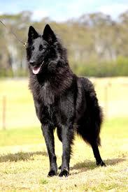 belgian shepherd sydney belgian shepherd toujour