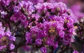purely purple black diamond blooms