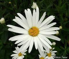 Daisy The Flower - 76 best sunday sonday images on pinterest sunday morning