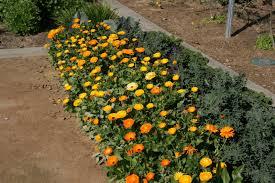 flowers for vegetable garden including flowers in your vegetable garden uc davis good life garden
