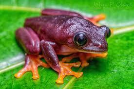 agalychnis callidryas black black eyed tree frog