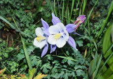 State Flower Of Colorado - columbine colorado state flower royalty free stock photo image