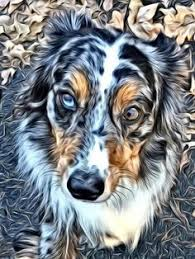 australian shepherd quad cities pin by meghan brant on australian shepherds pinterest see
