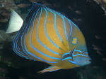 Image result for Pomacanthus annularis