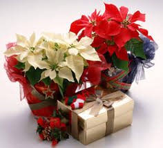 Christmas Plants Bbc Gardening Blog What To Do With Christmas Plants In A Pot