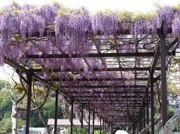 carport trellis breezeway with wisteria over the top to soften it