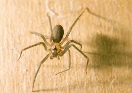 ohio u0027s biting spiders spidersrule