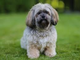 australian shepherd x corgi dog breeds that live the longest business insider
