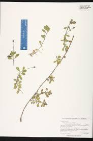 native south florida plants phyla nodiflora species page isb atlas of florida plants