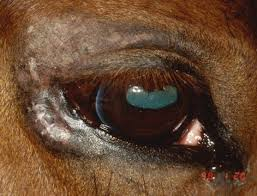 What Causes Blindness At Birth A Guide To Loving And Caring For Blind Horses