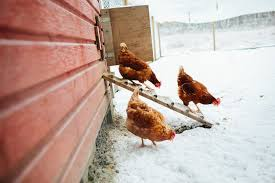 Can You Have Chickens In Your Backyard Top 10 Tips For Keeping Chickens In Winter