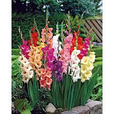 gladiolus flowers 75 mixed large flowering gladiolus bulbs 12 cm