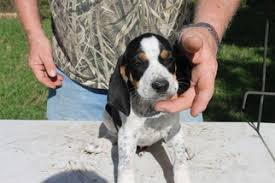 bluetick coonhound owners view ad bluetick coonhound puppy for sale texas college station