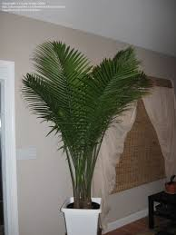 indoor palm article indoor palms selecting and caring for these popular