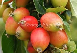 malus downie crab apple trees for sale buy