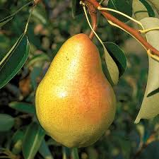 bartlett pear trees from stark bro s bartlett pear trees for sale