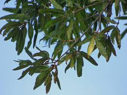 willow oak tree information learn about willow oak tree care in