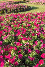 beautiful flowers gardan flower gardens in thailand stock photo