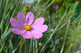 bc native plants cosmos how to plant grow and care for cosmos flowers the old