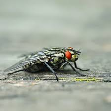 Flies In Backyard Cluster Fly Catseye Pest Control