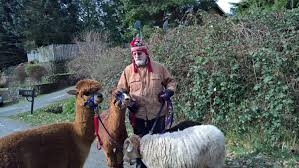 walking my two alpacas backyardherds com