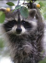 free picture raccoon face up close procyon lotor