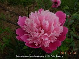 Pink Peonies Nursery Elk Pass Nursery Wholesale Nursery Supplies U0026 Plant Growers In