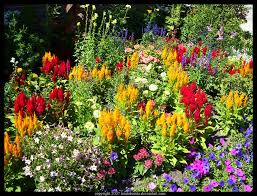 flower garden perennial plant click on the image for additional
