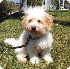 bichon frise fluffy fluffy pants adopted puppy el cajon ca bichon frise maltese mix