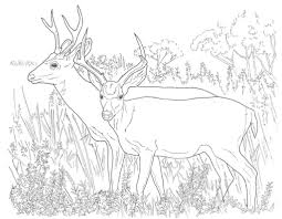 mule deer coloring pages free coloring pages deer coloring sheets