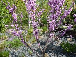 plant of the week redbuds the high line blog