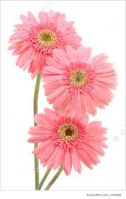 pink gerber daisies image