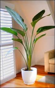 best 25 large indoor plants ideas on plants for room