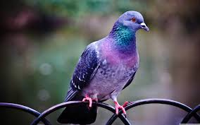 pigeon symbolic meaning whispers channels prophecies visions