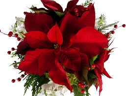 christmas flowers poinsettia the christmas flower freytags florist