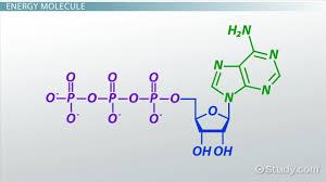 atp definition u0026 molecules video u0026 lesson transcript study com