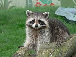 Raccoons In Backyard 11 Important Reasons Why Raccoons In Canada Are Just Different