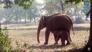 for 11 hours this mother elephant struggled to rescue her little